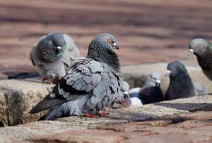 Факты о голубях