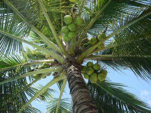 Факты о кокосах