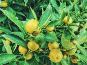 Факты о лимонах
