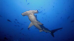 Факты об акуле-молоте